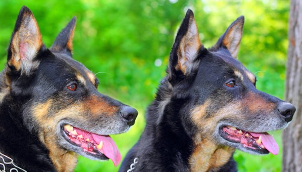 Két kiképzett kutya összehangoltan védelmezi otthonodat