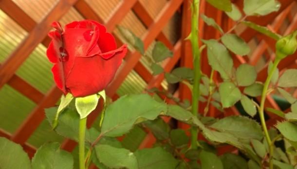 Ültess rózsát a kertbe vagy balkonra!