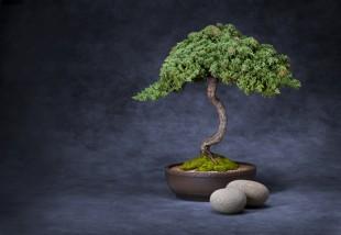 Bonsai fa nevelése - lépésről lépésre, minden hasznos információt megtalálsz!