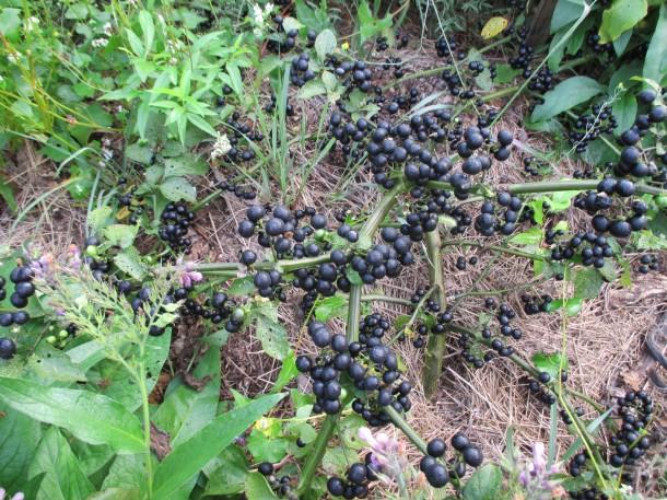 Wonderberry – ha ilyet veszel, ezt a gyümölcsöt már idén szüretelheted