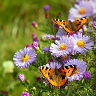 A pillangók imádják a színes kertet