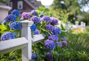 Így nevelj gyönyörű hortenziát! – A legfontosabb dolgok, amiket erről a növényről tudni érdemes
