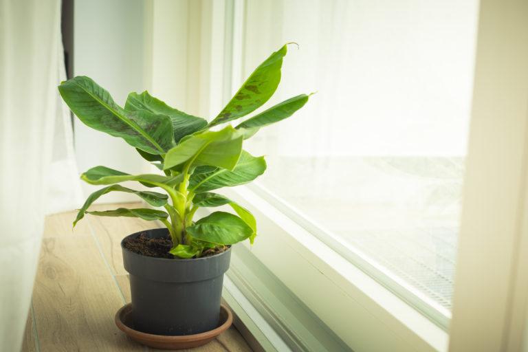 Így nevelj banánfát otthon!