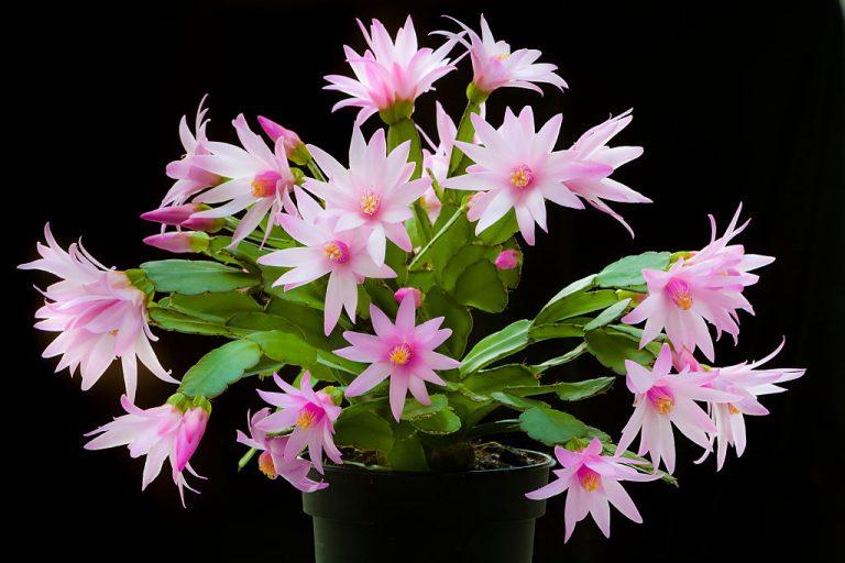 Így lesz gyönyörű a húsvéti kaktuszod! Minden, amit tudnod kell az ápolásáról!