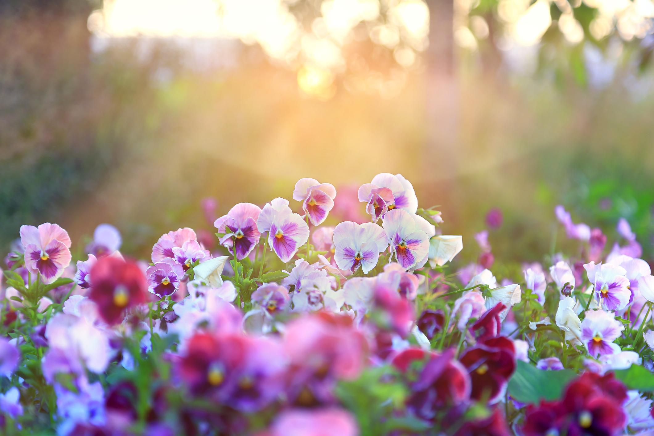 Az 5 legszebb allergiamentes virág bármilyen kertbe