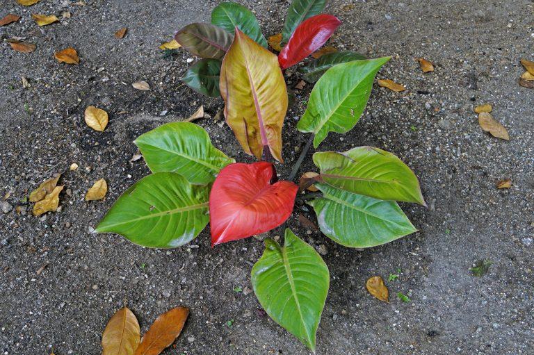 Könnyező pálma – A tökéletes választás kezdő kertészeknek