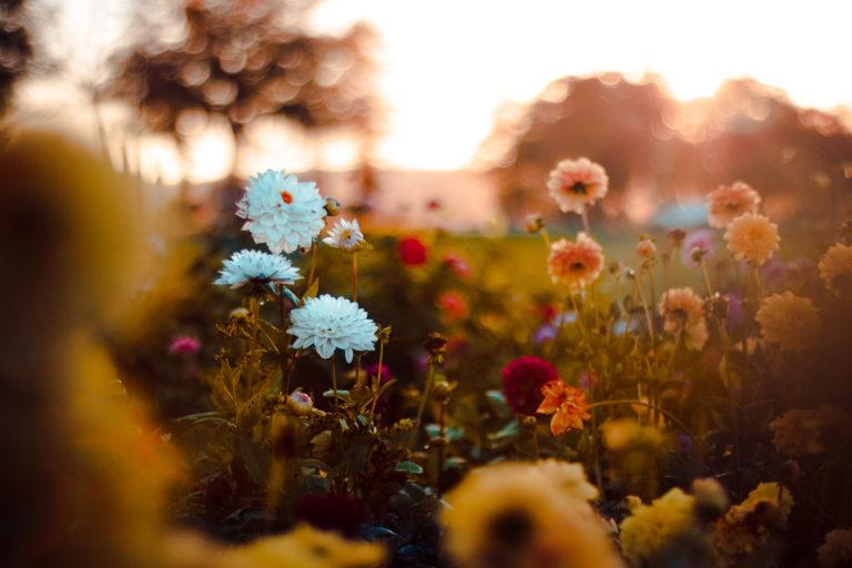 Csodaszép virágok a kertbe őszre! Ezeket ültesd, hogy gyönyörködhess!