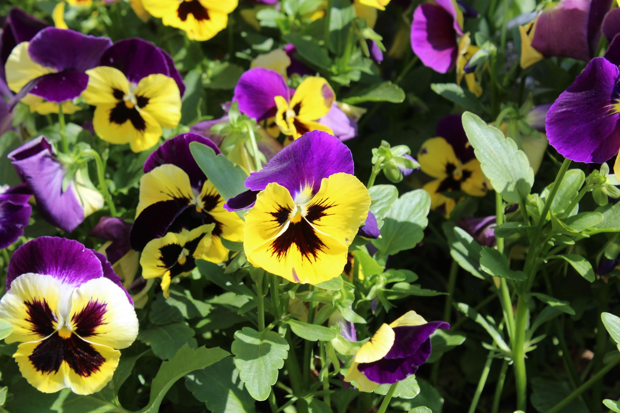Télálló balkonnövények – Ezeket hagyd bátran a teraszon a mínuszokban is