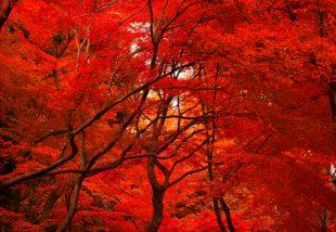 Tedd hangulatosabbá a kerted! Íme, a 12 legszínesebb őszi fa