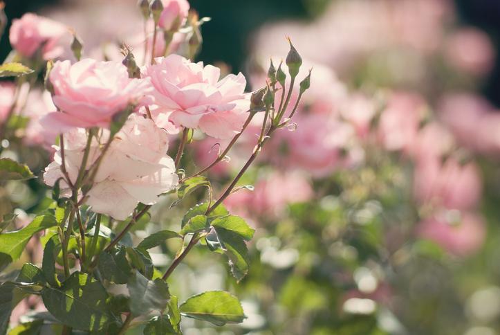 Így kell megmetszeni a rózsákat, hogy gyönyörűek legyenek