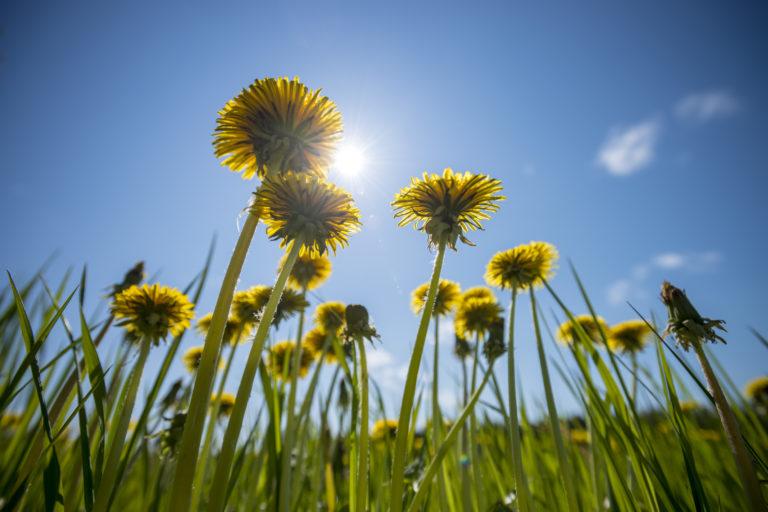 Ehető gaznövények – Ez a 4 nem csak egészséges, de finom is