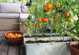 erkély zöldségek