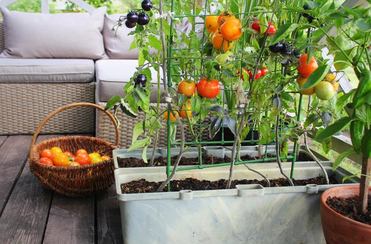 Erkély zöldségek – Ez a 6 finomság még a kezdő kertészeknél is megterem