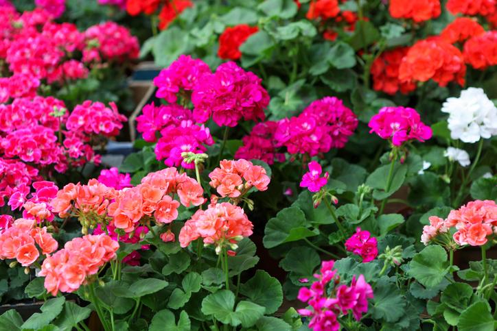 Varázsolj virágos oázist az erkélyedre – Ez a 7 növény gyönyörűen fog mutatni