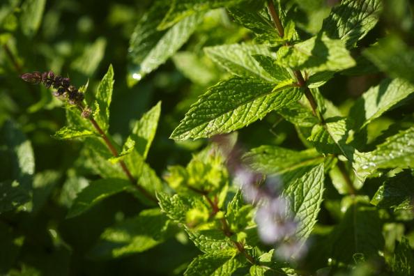Ezeket a növényeket ültesd a kertedbe, hogy távol tartsd a kártevőket