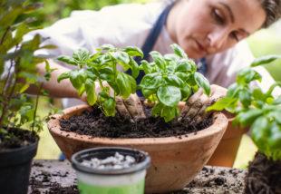 7 növény szúnyogok ellen – Űzd el a vérszívókat!