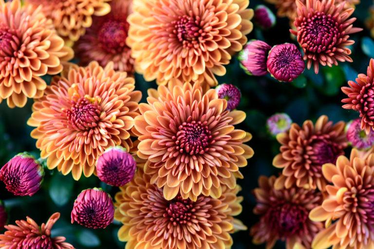 Krizantém kisokos – Így ápold az őszi virágok királynőjét