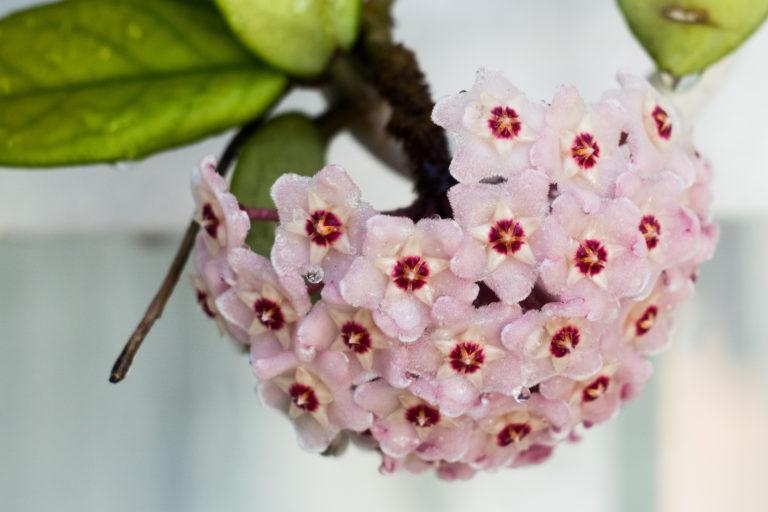 5 gyönyörű függőnövény otthonra – Ezek közül válassz, ha valami különlegesre vágysz