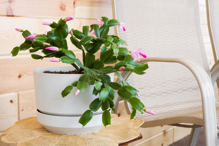 A karácsonyi kaktusz gondozása – Így gondozd, és az ünnepek alatt biztosan virágozni fog