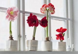 Virágba borult kertek V. – Az amarillisz gondozása