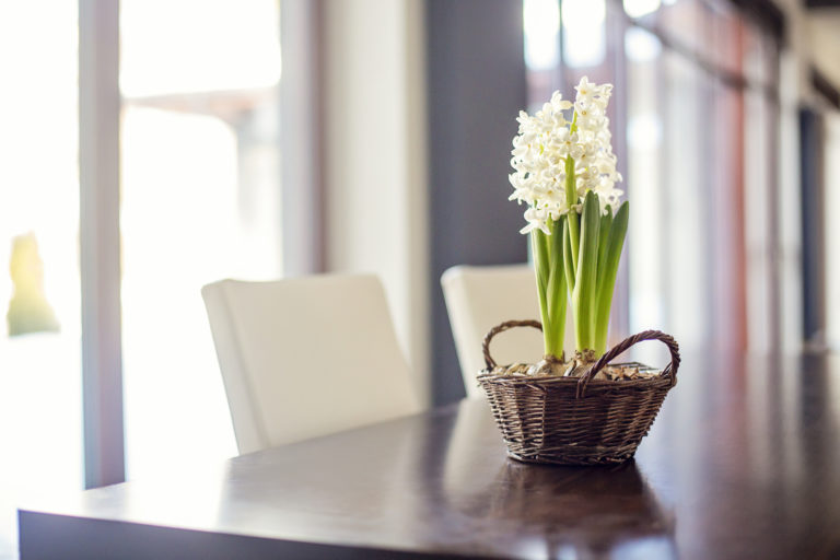 Virágba borult kertek III. – A jácint gondozása