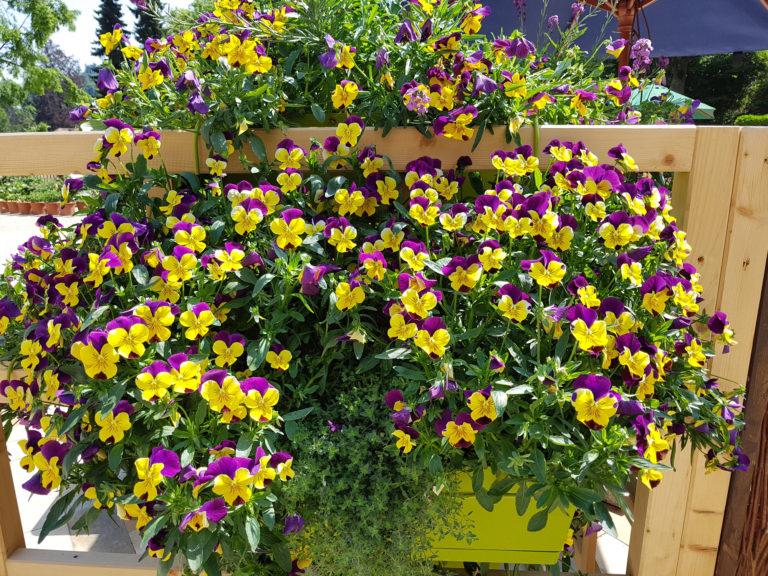 Virágba borult kertek VII. – Az árvácska gondozása