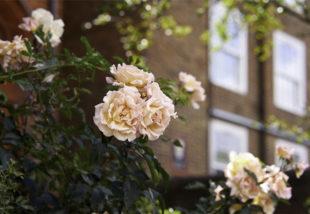 Levéltetvek a rózsán? Ezekkel a házi szerekkel zavard el őket