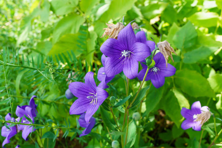 Virágba borult kertek X. – A harangvirág gondozása