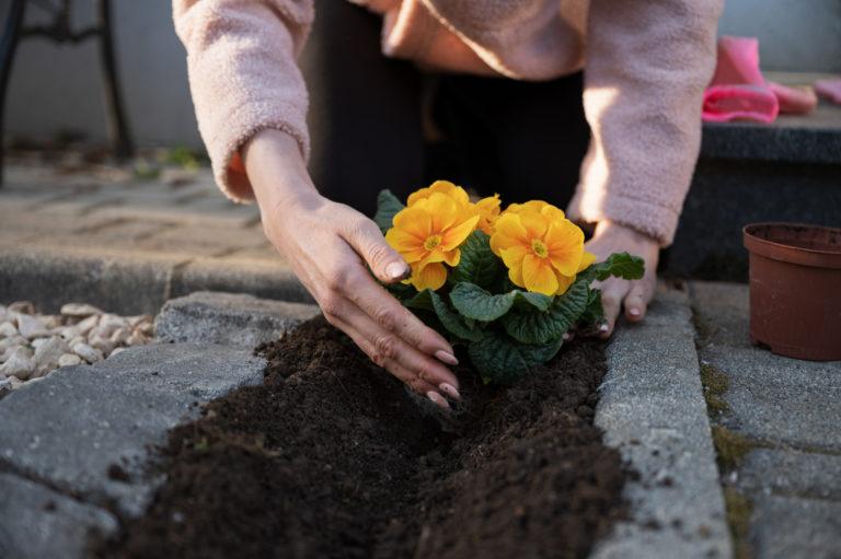 Virágba borult kertek VIII. – A kankalin gondozása