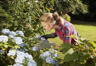 Hortenzia gondozása – Így ápold, hogy gyönyörű virágokat hozzon