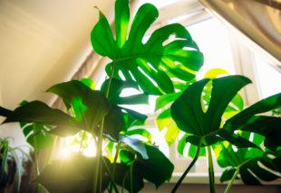 Ezekre nagyon figyelj! 7 ok, ami miatt besárgulnak a növényeid