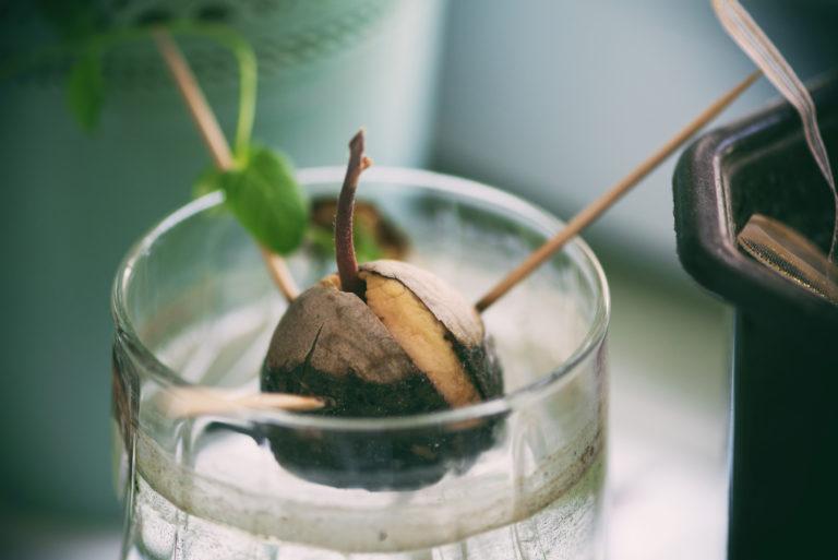 Így nevelj avokádó növényt otthon, csupán a gyümölcs magjából – VIDEÓVAL