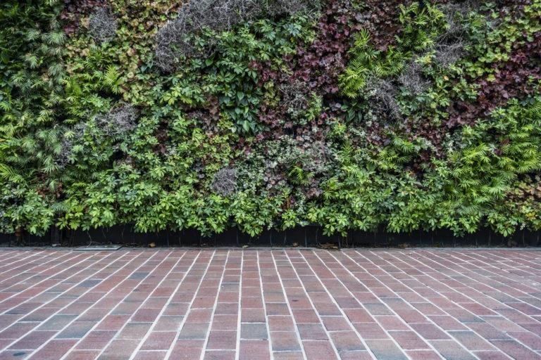 Futónövények a házfalra – Valóban káros, vagy csak városi legenda?