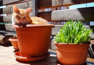 Macskamentát a kertbe! Nem csak a cicának jó, de még a szúnyogokat is távolt tartja