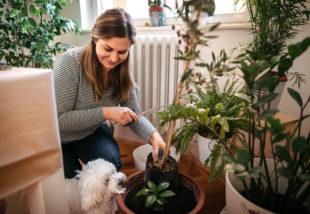 Ez az 5 népszerű szobanövény mérgező a kutyák számára